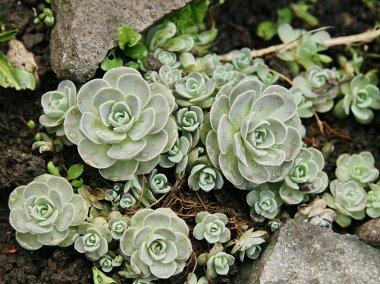 Succulents-ornament plant
