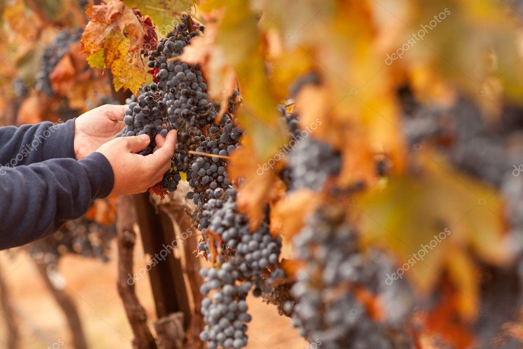 Farmer Inspecting His Ripe Wine Grapes