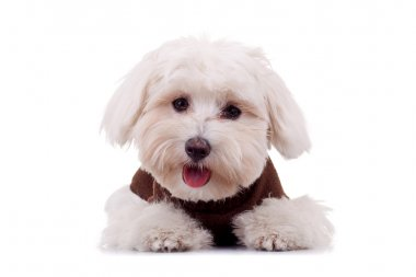 Bichon puppy with clothes