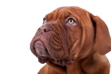 Face of a Dogue de Bordeaux