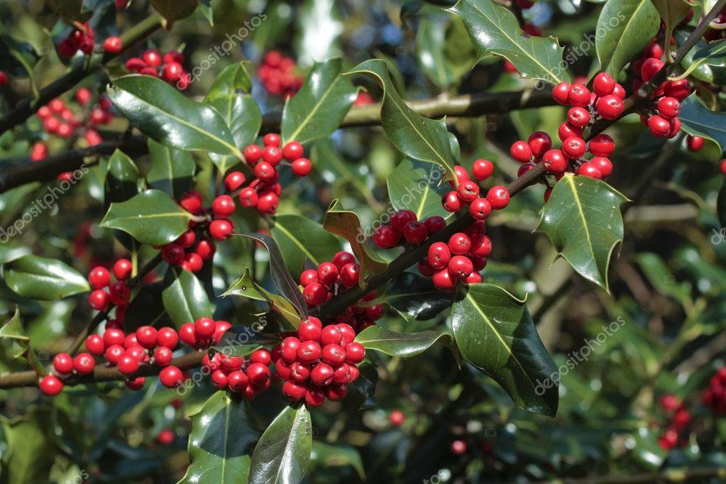 Pianta di agrifoglio con bacche rosse mature foto stock for Pianta ornamentale con bacche rosse