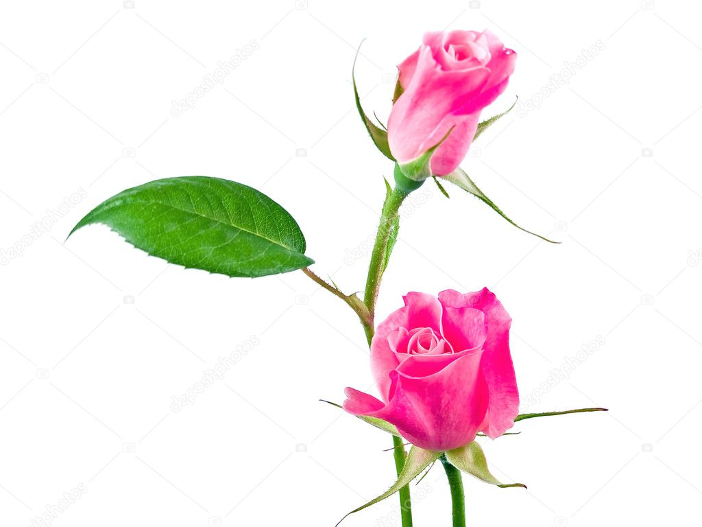 Pink Roses Before a Blank White Background