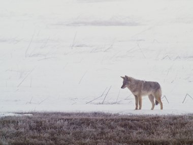 A coyote walks on the frozen, snowy fields of the West Plains