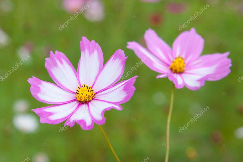 Фотообои Cosmos flowers closeup