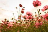 Kosmos květiny v západu slunce