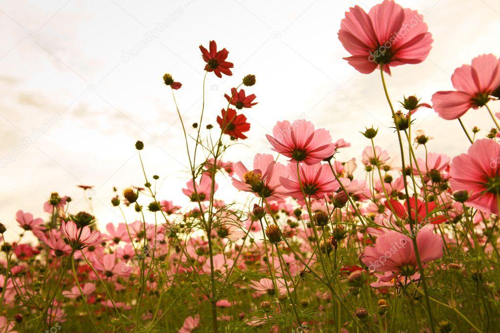 Фотообои Цветы космеи на закате
