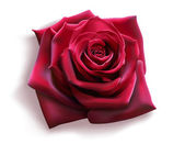Photo Red Rose (vector)