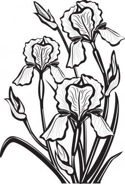 Sketch of iris flowers