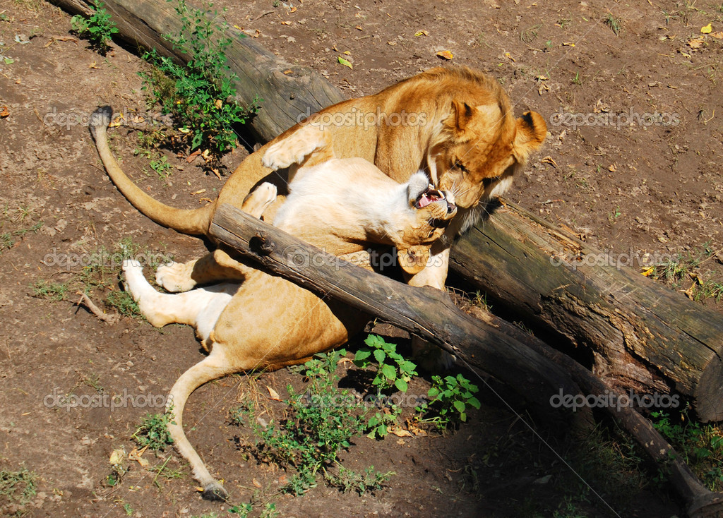 Loving family of lions
