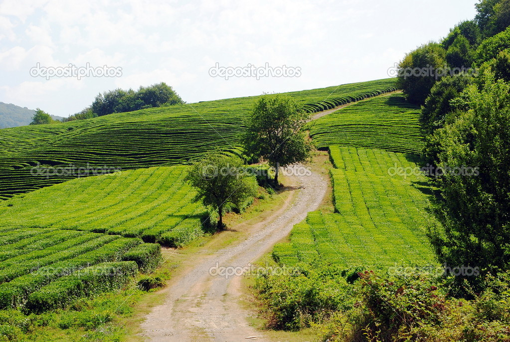 Dirt road through tea plantations