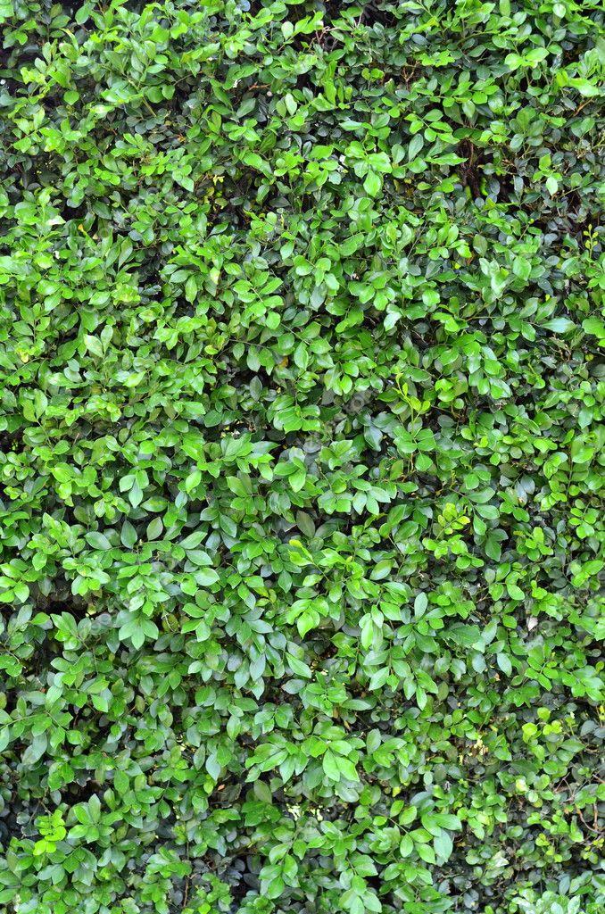 Trama Di Sfondo Di Una Rigogliosa Siepe Verde Foto Stock
