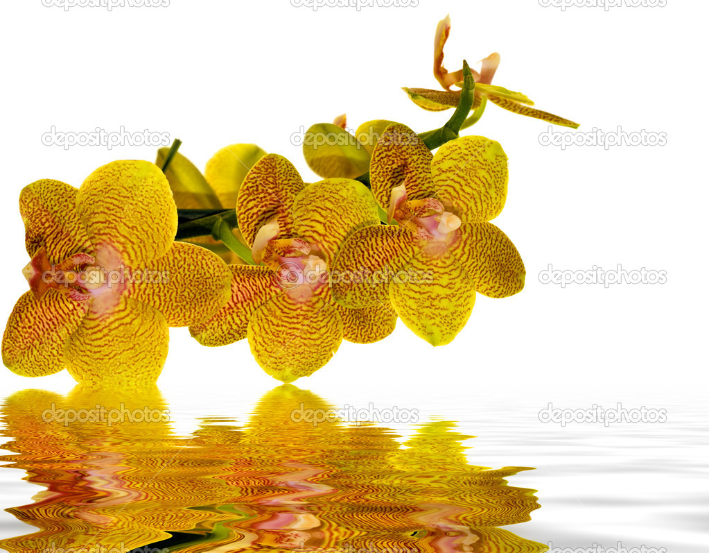 Yellow and pink orchid reflecting in water
