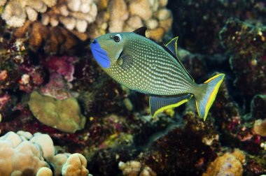 Blue Throated Trigger Fish