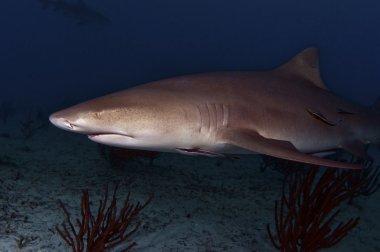 The Misunderstood Lemon Shark