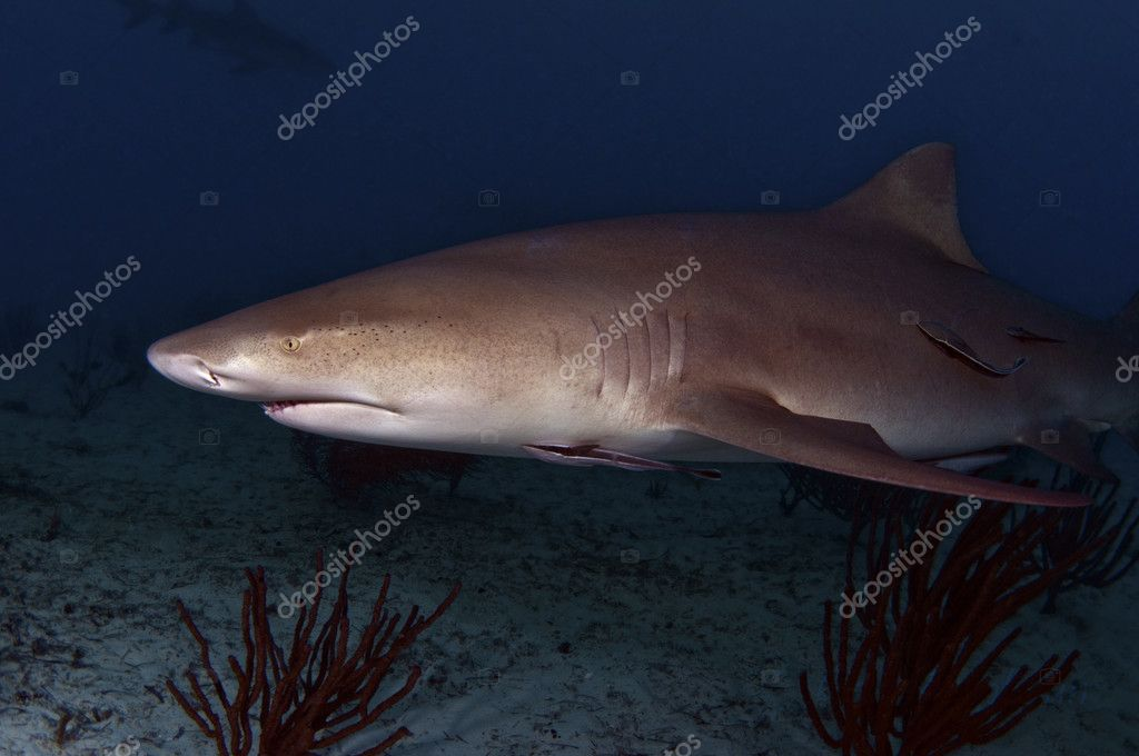 The Misunderstood Lemon Shark