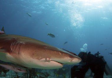Injured Shark