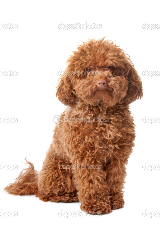 Pictures Brown Toy Poodles Brown Toy Poodle Stock