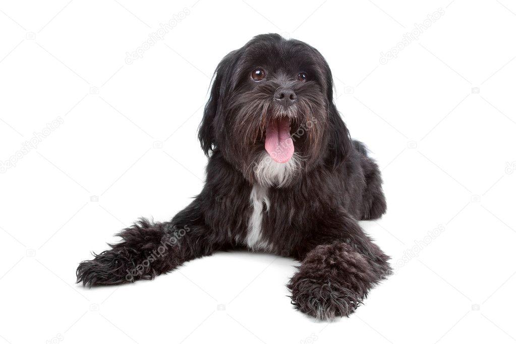 Tibet Terrier Shih Tzu Mix Stockfoto Eriklam 4441869