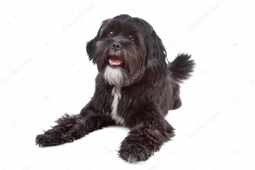 Tibet Terrier Shih Tzu Mix Stockfoto Eriklam 4441870
