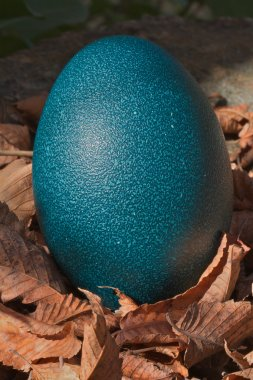 Blue Ostrich egg leaves