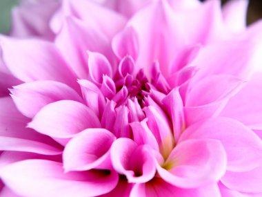 Beautiful pink lotus flower close-up