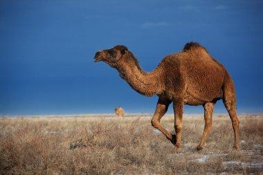 Camels on winter desert