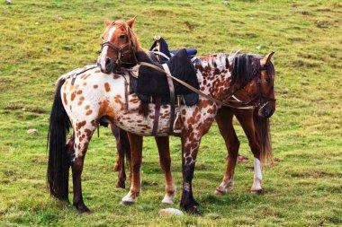 Two nomadic horses