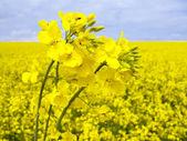 Fotografie Flowering oilseed rape