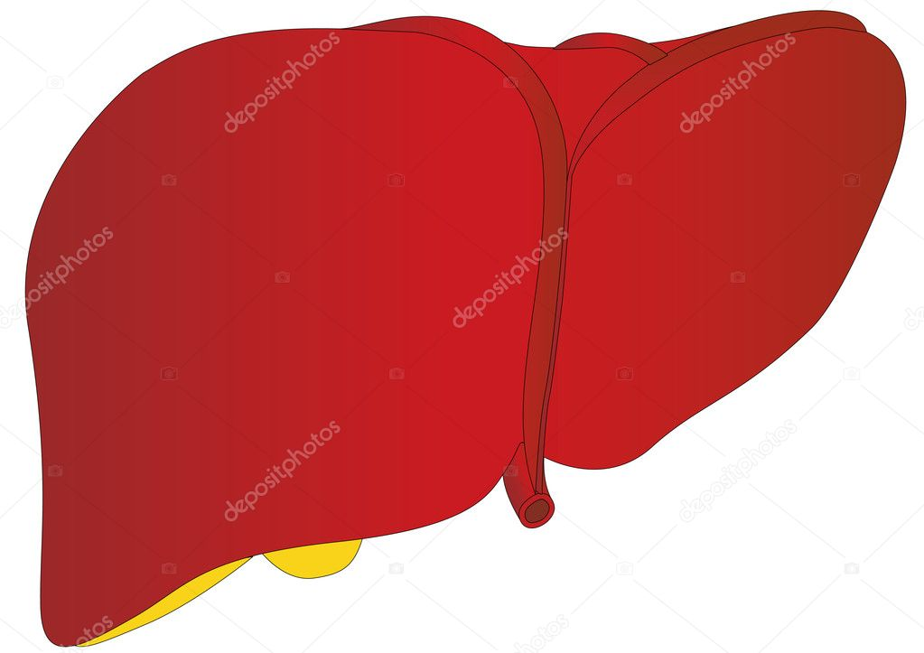 Vector anatomía médica del hígado humano — Archivo Imágenes ...
