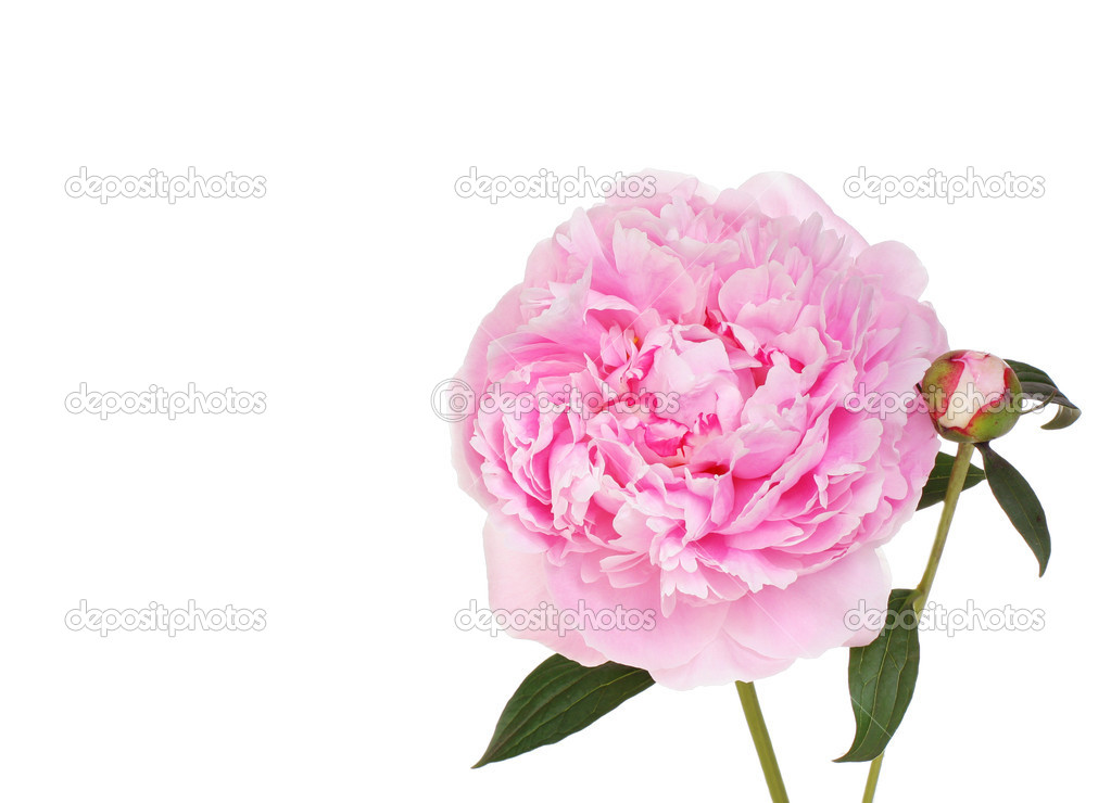 Beautiful pink Peony flower with bud.