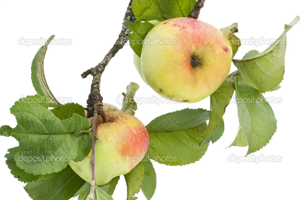 Real apples on a branch with leaves
