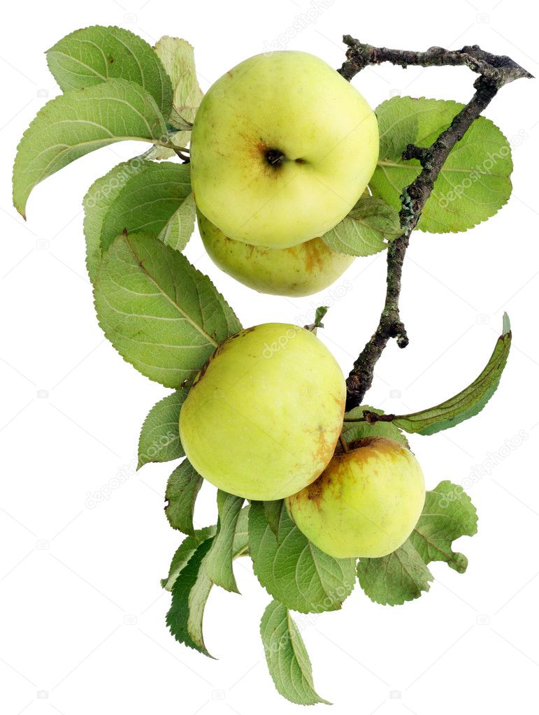 Real green apples on a branch with leaves