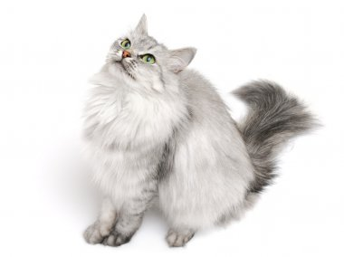 Long-hair cat
