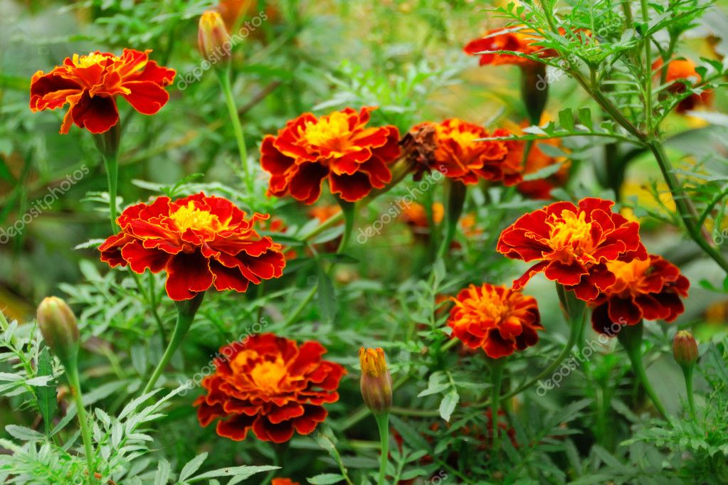 Beautiful marigolds