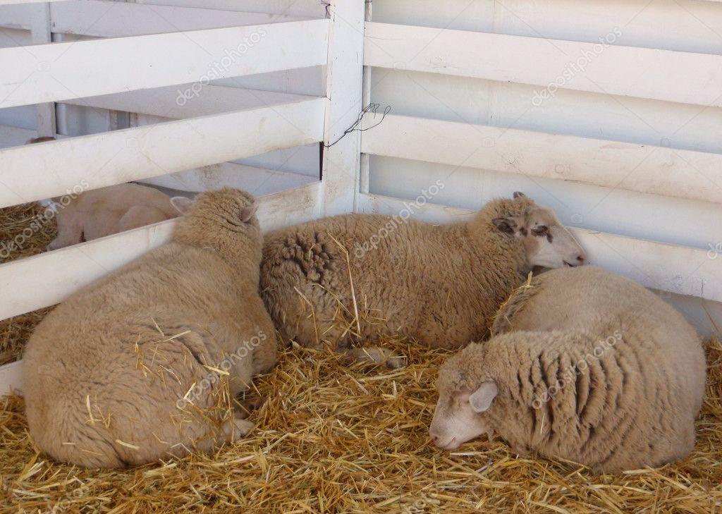 Three sheep sleep at fair