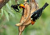 Kaštanové Breasted Chlorophonia pár