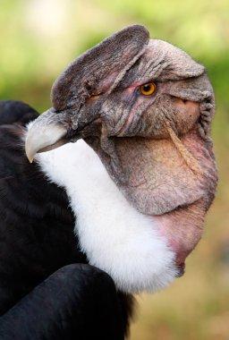 Male Andean Condor Close Up
