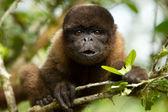 Chorongo opice