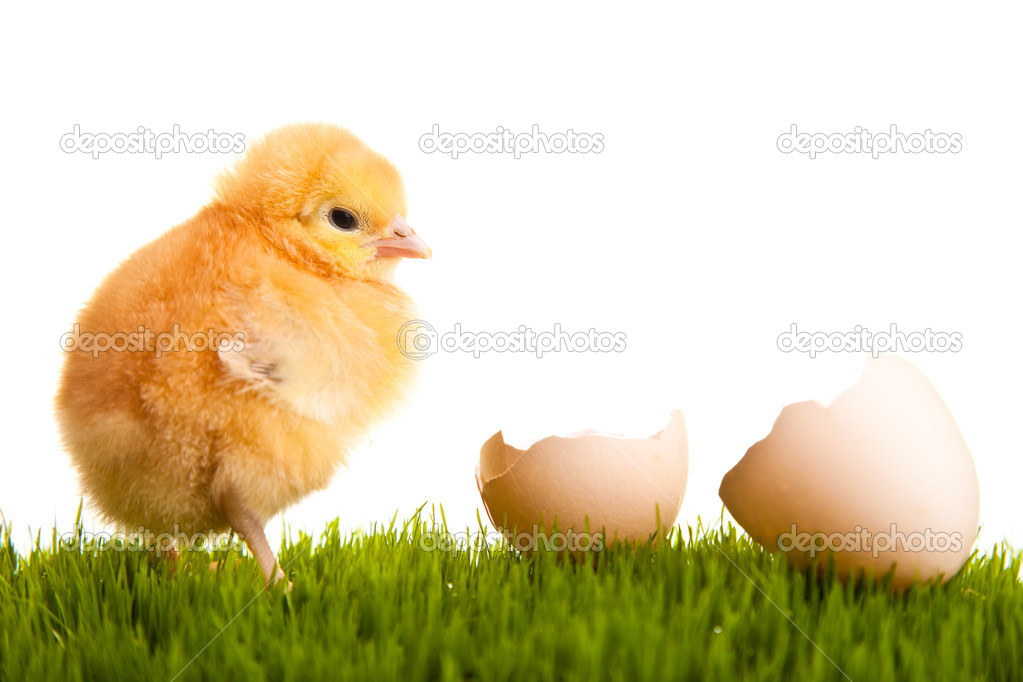 Easter eggs and chickens on green grass on white isolated backgr