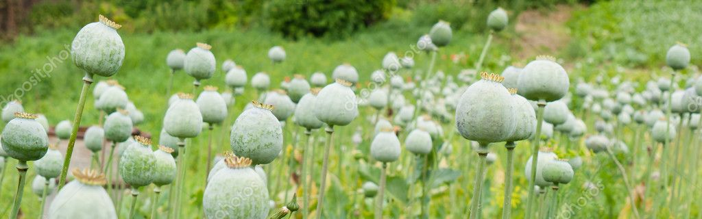 Green poppy heads