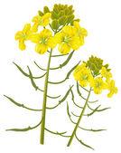 Fotografie Mustard flower on a white background. Vector illustration.