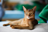 Fotografie Young Abyssinian cat in action