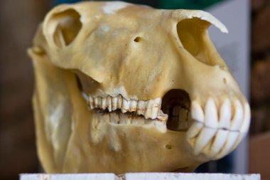 Hourse skull