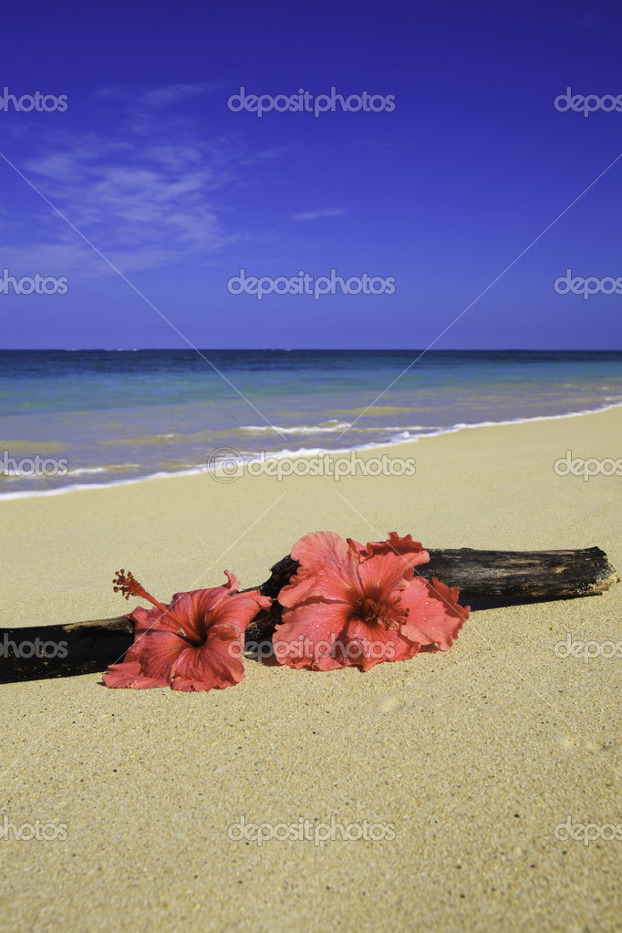 deux rose hibiscus sur le sable c t du bois flott photographie tomasfoto 4433786. Black Bedroom Furniture Sets. Home Design Ideas