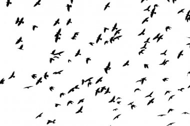 Flight of black birds on a white background