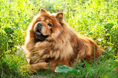 Portrait of dog chow-chow