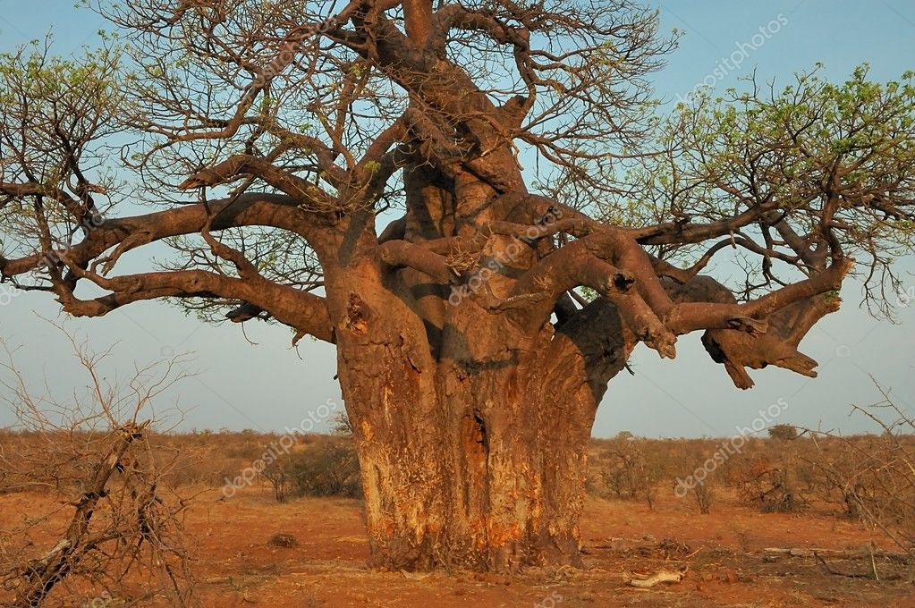 Baobab tree, Limpopo, South Africa