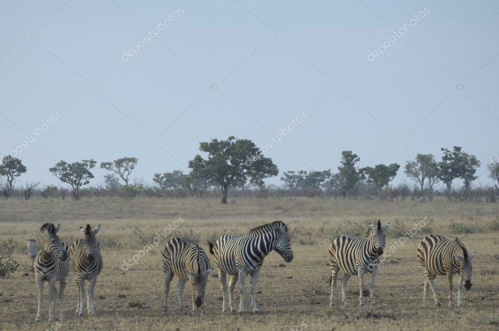 Small herd of zebra