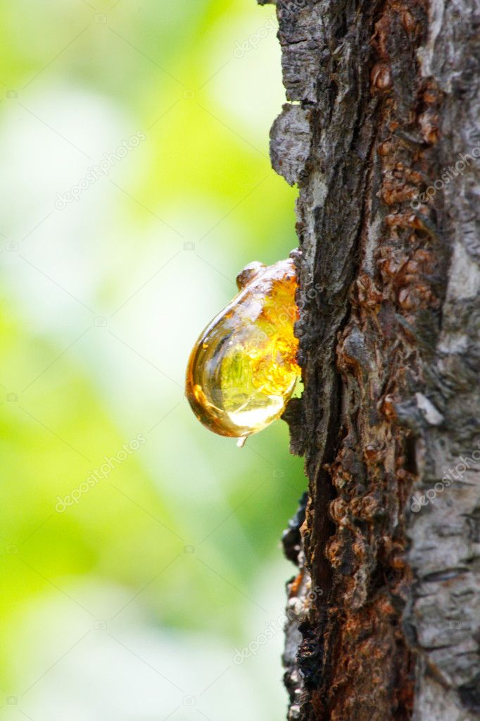 Amber yellow resin drop from queen-apple tree (Cydonia)