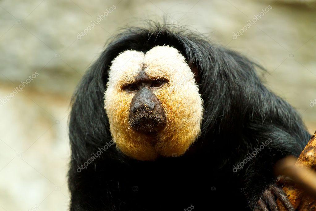 Pithecia pithecia, also known as Golden-face saki monkey